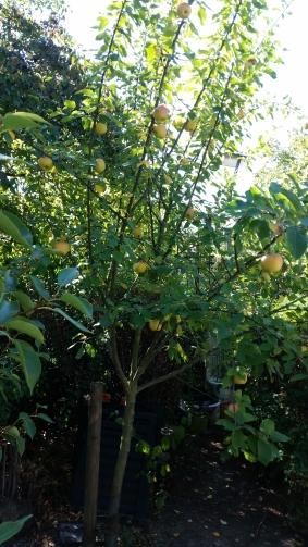 Der Apfelbaum in der kleinen Obstbaumplantage