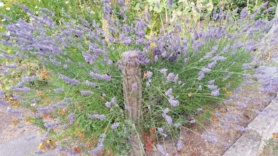 Lavendel voller Hummeln