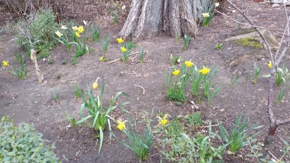 Am östlichen Parkplatzrand, Frühblüher und zwei der drei neu gepflanzten Zwergobstbäume