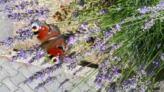 Lavendel mit Hummeln und Schmetterling