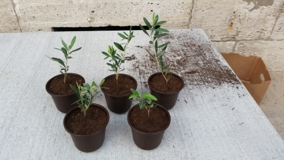 Vom Netzwerktreffen in Bad Harzburg mitgebrachte eingepflanzte Olivenbäumchen