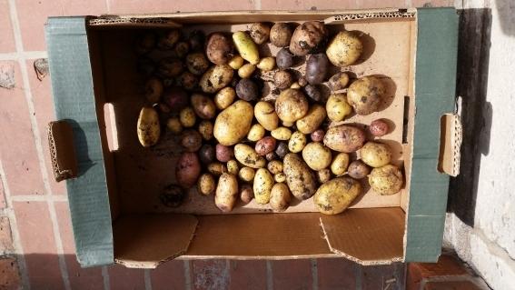Geerntete Kartoffeln aus dem Kartoffelturm